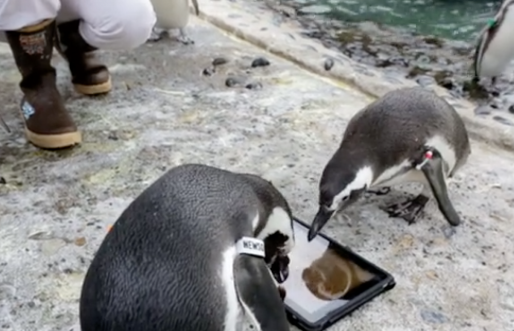 Penguins Playing With iPads
